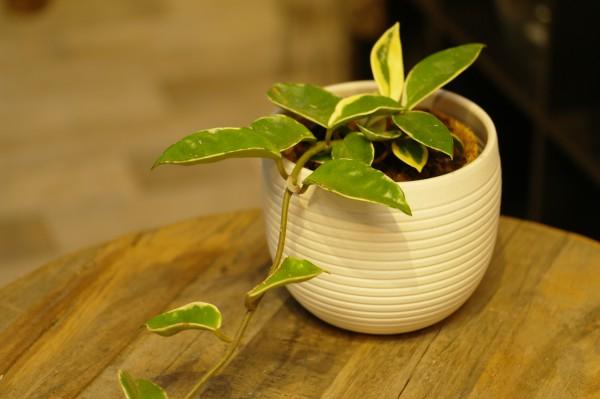 Porzellanblume 'Albomarginata' - Hoya carnosa (12cm Topf, ca. 15cm)