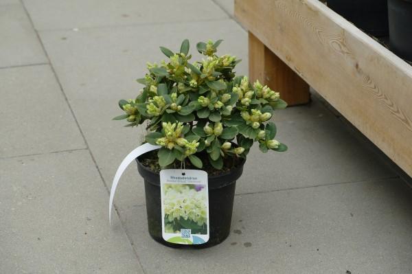 Rhododendron 'Shamrock' - Rhododendron hanceanum (C2, 20-25cm)