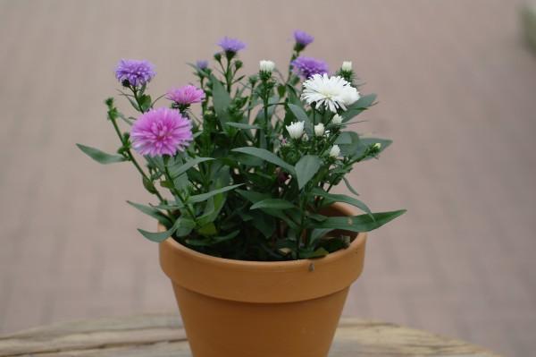 Glattblatt-Aster-Trio weiß, rosa, violett - Aster novi-belgii (13cm Topf)
