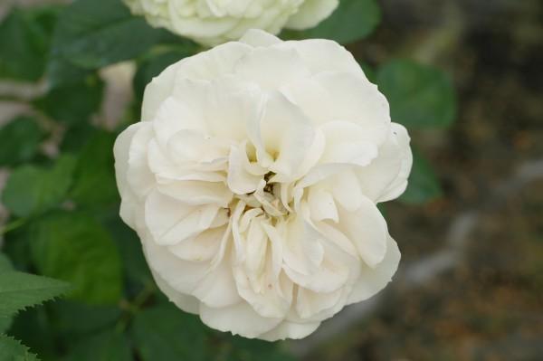 Strauchrose 'Matthias Claudius Rose'® ADR-Rose - Rosa (C4)