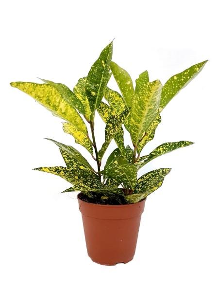 Kroton 'Gold Sun' - Codiaeum variegatum (12cm Topf, 25-40cm Höhe inkl. Kulturtopf)