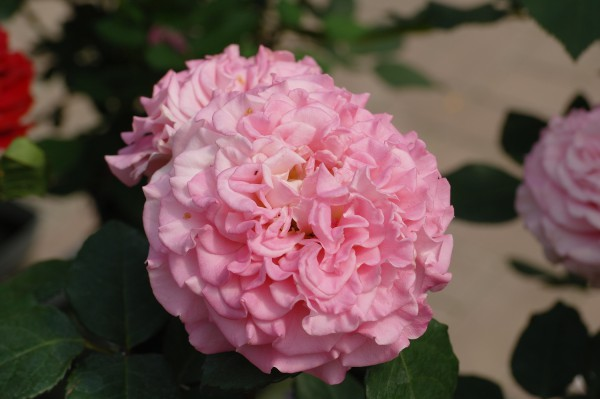 Edelrose 'Ashley'® - Rosa (C4)