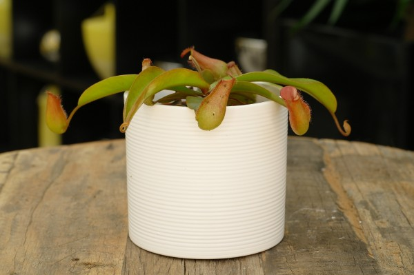 Fangblatt 'Bloody Mary' - Nepenthes (8cm Topf, ca. 15cm Höhe inkl. Kulturtopf)