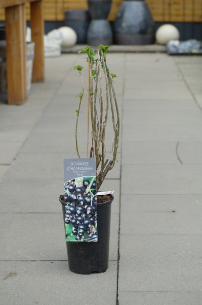 Schwarze Johannisbeere 'Titania' CAC - Ribes nigrum (C3, 60-80cm)