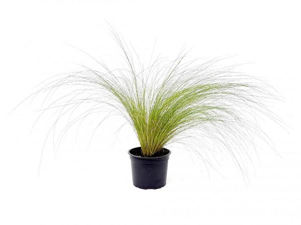 Flauschfedergras - Stipa tenuissima (10cm Topf)