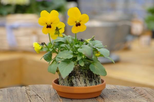 Hornveilchen gelb mit Auge - Viola cornuta (Erdpresstopf)