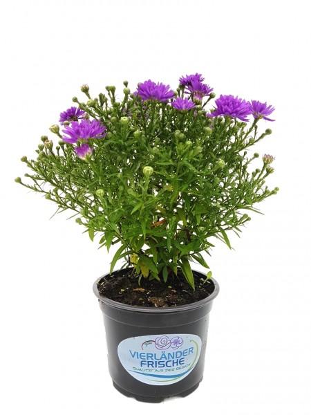 Kissen-Aster violett - Aster dumosus (12cm Topf, 20-30cm)