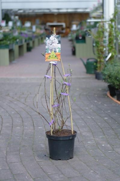 Deutzie 'Pink Pom-Pom' - Deutzia hybrida (C5, 3 Stäbe, 60-100cm Höhe inkl. Kulturtopf)