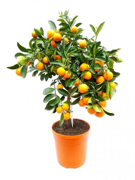 Citrus Calamondin-Stamm - Citrofortunella mitis (60-80cm)