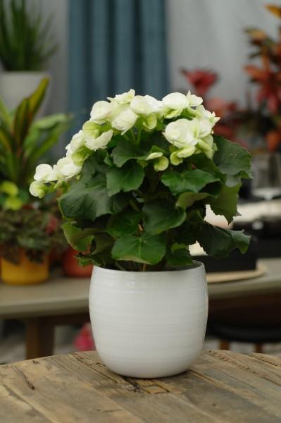 Elatior-Begonie weiß - Begonia elatior (13cm Topf, 25-35cm Höhe inkl. Kulturtopf)