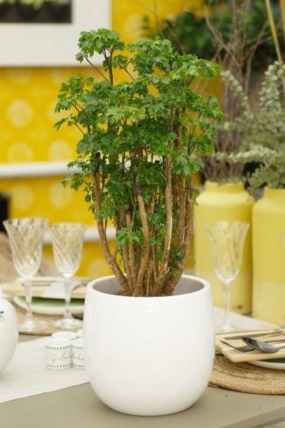 Ming Aralia 'Roble' - Polyscias fruticosa (17cm Topf, 50-70cm Höhe inkl. Kulturtopf)