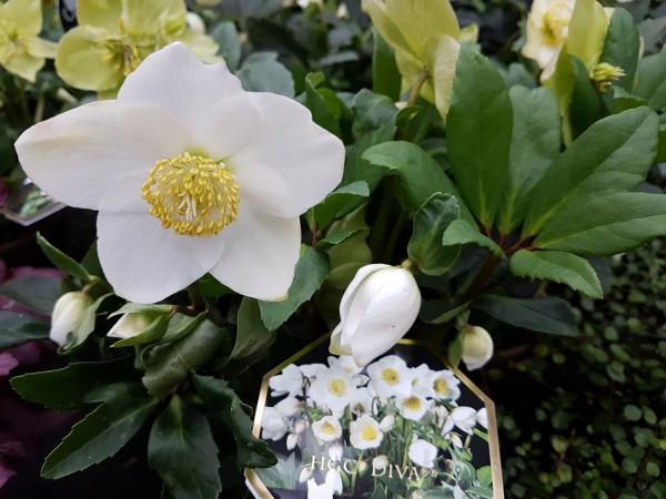 Christrose 'HGC Diva'® weiß - Helleborus niger (13cm Topf, 25-35cm)