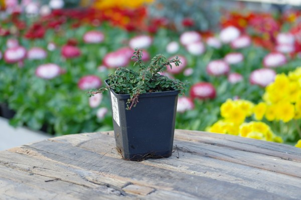Kriechmispel 'Cooper' - Cotoneaster dammeri (9cm Topf, ca. 15cm Höhe inkl. Kulturtopf)
