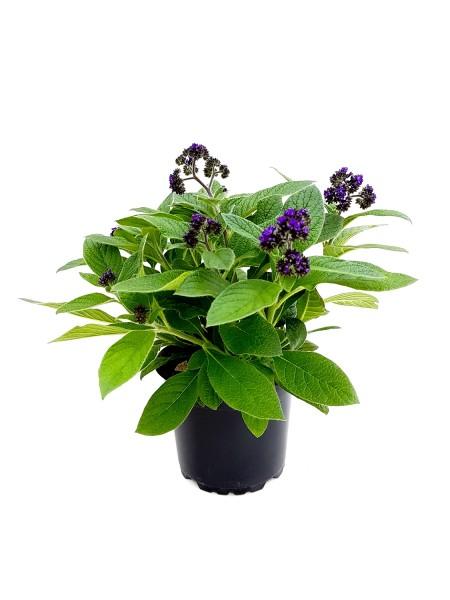 Vanilleblume - Heliotropium arborescens (12cm Topf)