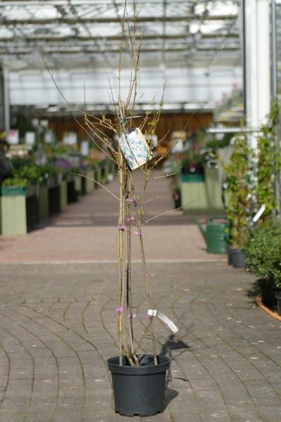 Rosenforsythie 'Roseum' - Abeliophyllum distichum (C5, 60-100cm)