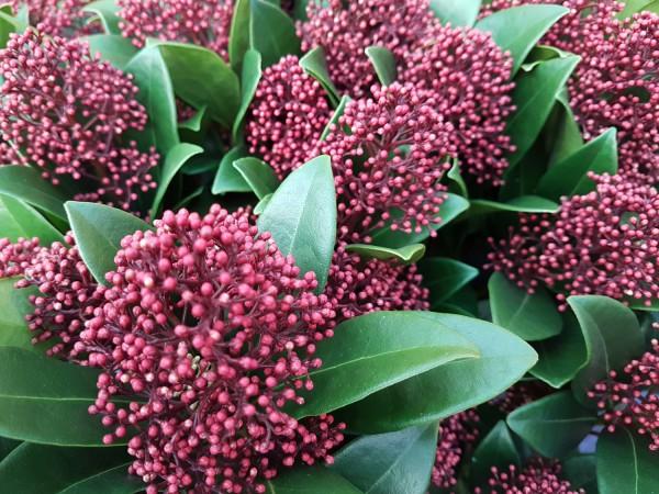 Japanische Blütenskimmie 'Rubella' - Skimmia japonica (14cm Topf)