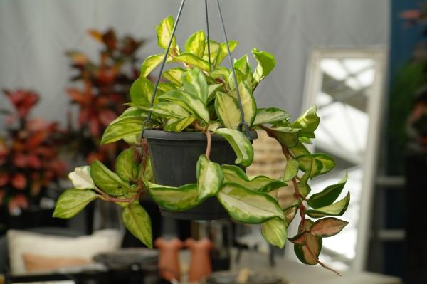 Porzellanblume 'Tricolor' - Hoya carnosa (14cm Ampel, 25-40cm)