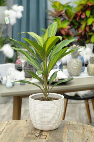 Keulenlilie 'Kiwi' - Cordyline fruticosa (12cm Topf, 30-50cm)