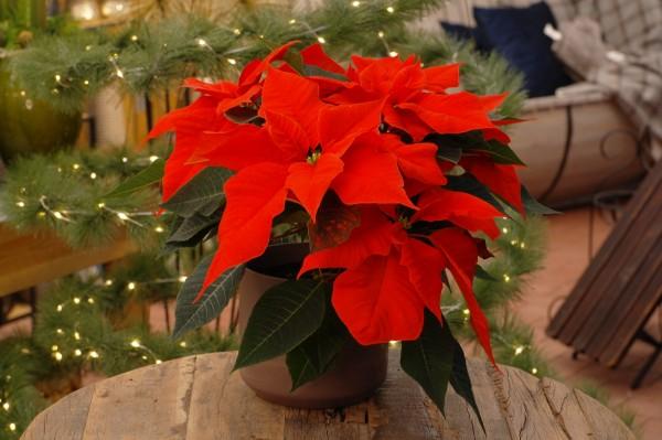 Weihnachtsstern 'Cortez Electric Fire' - Euphorbia pulch. (12cm Topf, 30-40cm)