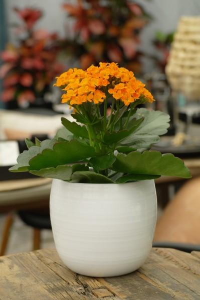 Flammendes Käthchen orange - Kalanchoe blossfel. (11cm Topf, 15-25cm Höhe inkl. Kulturtopf)