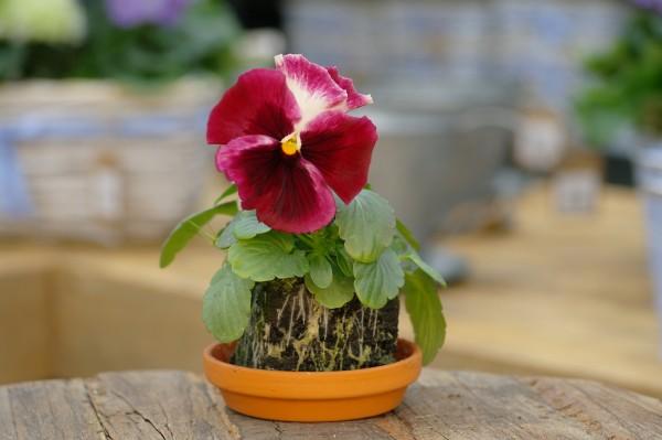 Stiefmütterchen pink-rot-weiß - Viola F1 wittrockiana (Erdpresstopf)