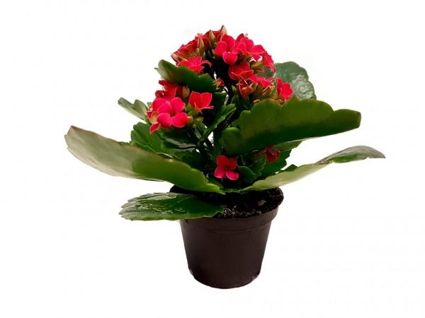 Flammendes Käthchen rot - Kalanchoe bloss. (Minipflanze, 6cm Topf)