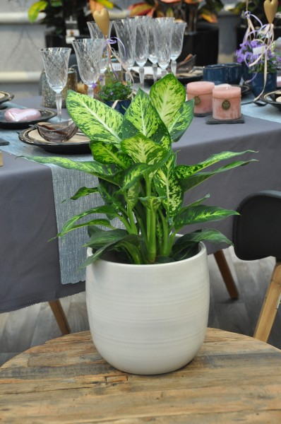 Dieffenbachie 'Sublime' - Dieffenbachia (17cm Topf, 50-70cm)