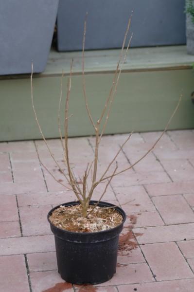 Schwarze Maulbeere - Morus nigra (C3, 40-60cm Höhe inkl. Kulturtopf)