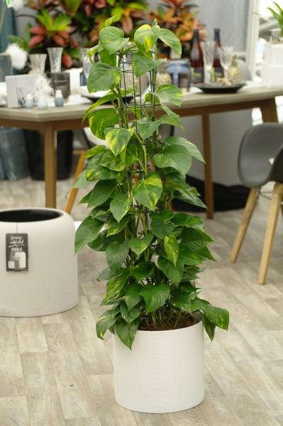 Efeutute 'Aureum' (Säule) - Epipremnum pinnatum (24cm T., 110-130cm Höhe inkl. Kulturtopf)
