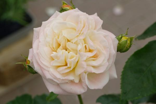 Edelrose 'Concorde'® - Rosa (C5)