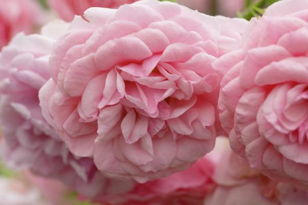 Beetrose 'Pomponella'® - Rosa (C7)