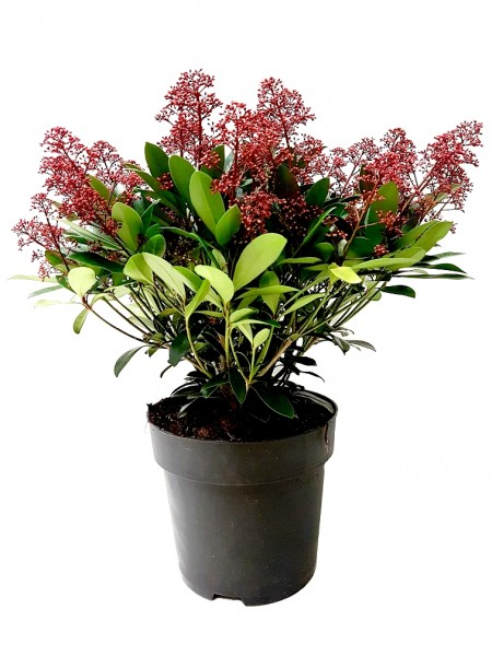 Japanische Blütenskimmie 'Rubella' - Skimmia japonica (27cm Topf, 50-70cm)