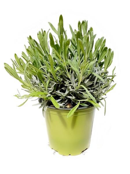 SUNNY HERBS Lavendel - Lavandula angustifolia (14cm Topf)