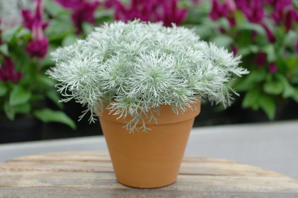 Streichelkraut - Artemisia (12cm Topf)