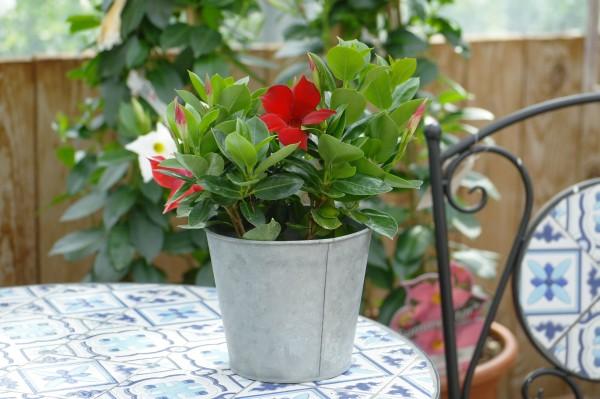 Sundaville rot - Mandevilla x Dipladenia (10,5cm Topf)