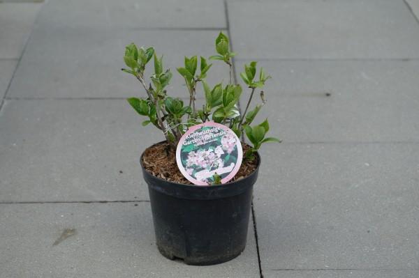 Tellerhortensie 'Koreana' - Hydrangea serrata (C3, 30-50cm)