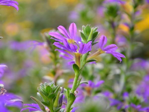 Blaue Fächerblume 'Blauröckchen' Pflanze des Jahres im Norden 2020 - Scaevola saligna (12cm Topf)