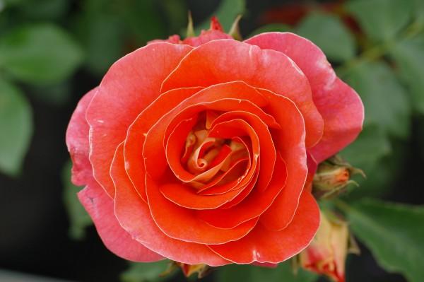 Beetrose 'Airbrush'® - Rosa (C2)