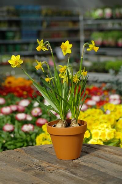 Narzisse 'Tête-a-Tête' - Narcissus-Hybride (9cm Topf)