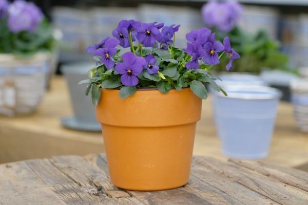 Hornveilchen blauviolett - Viola cornuta (12cm Topf)