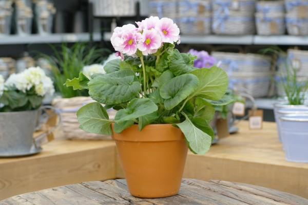 Becherprimel pink-weiß - Primula obconica (12cm Topf, 25-35cm)