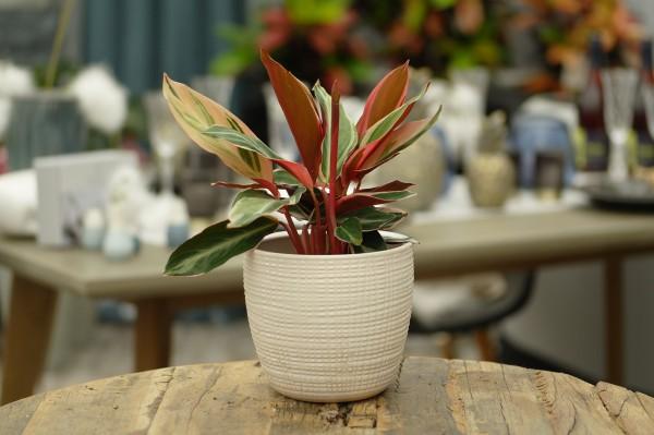 Korbmarante 'Triostar' (Stromanthe sanguinea) - Stromanthe thalia (12cm Topf, 30-45cm)