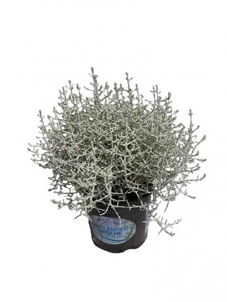 Stacheldrahtpflanze - Calocephalus brownii (12cm Topf)