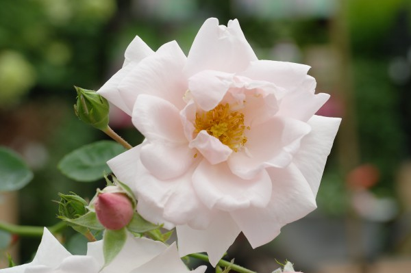 Kletterrose 'New Dawn'® - Rosa (C10, gestäbt)