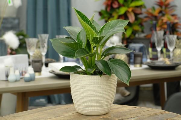 Baumfreund 'Birkin' - Philodendron (12cm Topf, 20-30cm)