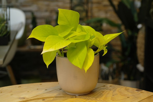 Efeutute 'Golden Pothos' - Epipremnum pinnatum (12cm Topf, 15-25cm Höhe inkl. Kulturtopf)