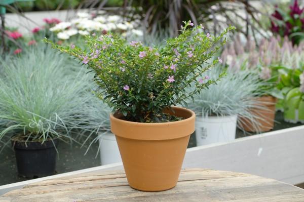 Japanische Scheinmyrthe violett - Cuphea hyssopifolia (10cm Topf)