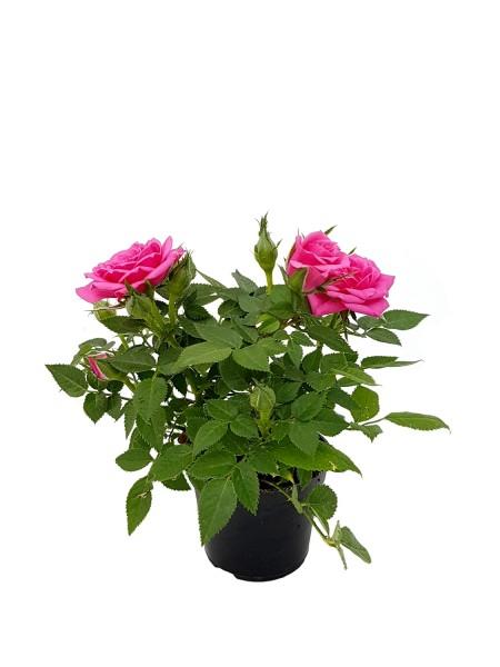 Topfrose altrosa - Rosa (Minipflanze, 6cm Topf)