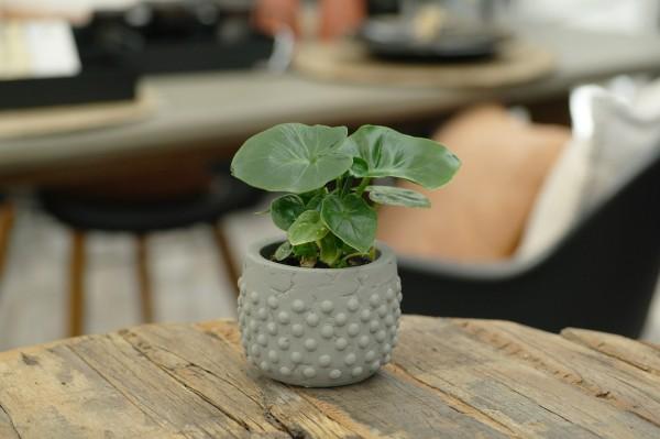 Baumfreund 'Atom' - Philodendron (Minipflanze, 6cm Topf)