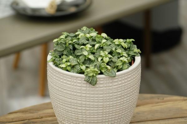 Mosaikpflanze 'Green Minima' - Fittonia mosaic (12cm Topf, ca. 20cm)